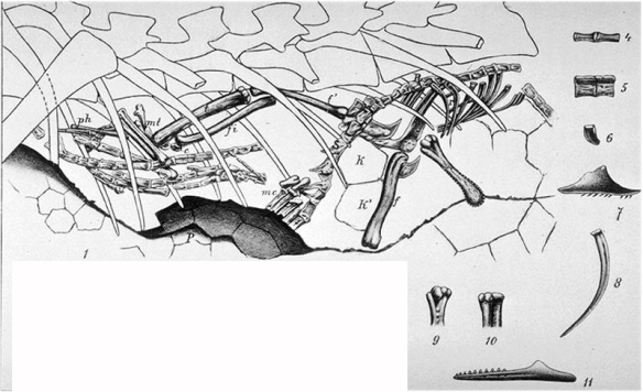 Figure 1. Click to enlarge. The little Jurassic lizard Bavariasaurus was found inside the belly of the little Jurassic dinosaur, Compsognathus. But it is not the same genus as the holotype.