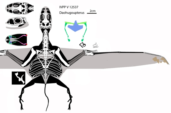 Figure 2. Click to enlarge. Daohugoupterus reconstructed.