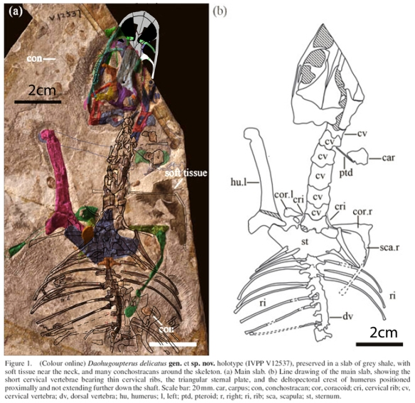Figure 1. Click to enlarge. Daohugoupterus in situ, colorized (left) and as originally traced (right). You'll note that DGS pulled out more details than firsthand tracing.