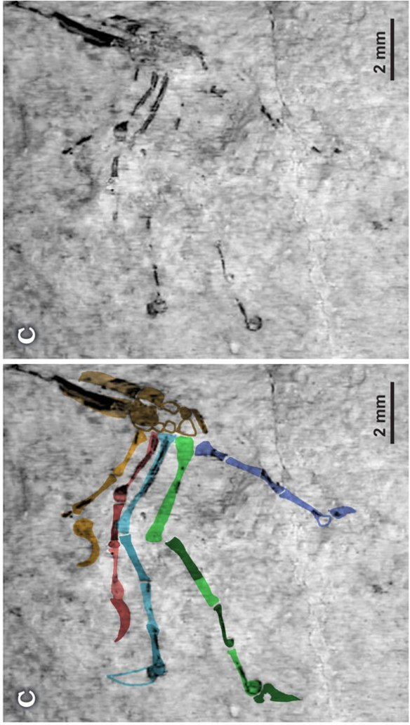 Figure 3. Eichstaettisaurus gouldi pes in situ and traced in color. Compare to figure 1.