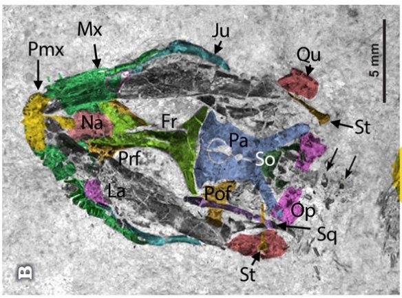Figure 4. Eichstaettisaurus gouldi skull in situ and colorized.