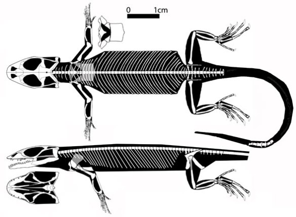 Figure 1. Eichstaettisaurus gouldi. A transitional taxon in the lineage of terrestrial snakes.