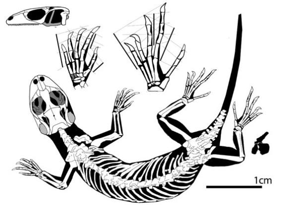 Figure 3. Eichstaettisaurus schroederi.