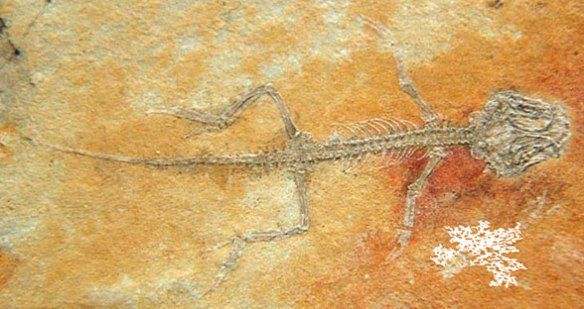 Figure 2. Euposaurus insitu.