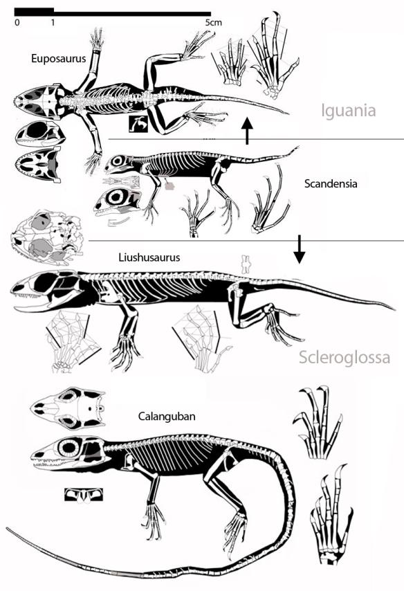 Figure 2. Basal squamates. Here Euposaurus is a basal Iguania. Liushusaurus and Calanguban are basal Scleroglossa. Scandensia is presently their last common ancestor.