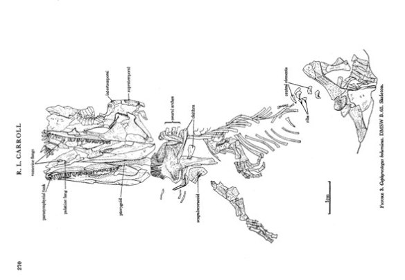 Figure 1. Gephyrostegus watsoni as traced by Carroll 1970. Here just the most prominent bones are identified leaving many unknown.