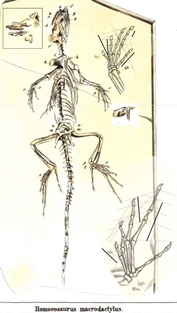 Figure 3. Homoesaurus/Bavarisaurus? macrodactylus actually nests with Huehuecuetzpalli, so the lizard inside Compsognathus is indeed different.