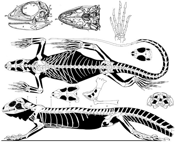 Figure 2. The basalmost tested iguanid, Iguana. Note the resemblance to basalmost scleroglossans.
