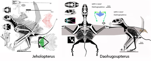 Figure 3. Jeholopterus and Daohugoupterus in side-by-side comparison to scale. The wings were relatively short in Daohugoupterus and the pelvis was small. The skull was relatively narrower, but the torso was just as broad.