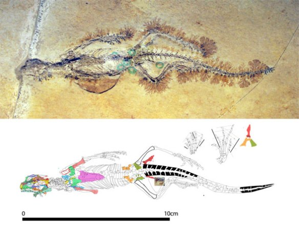 Figure 2. Kallimodon in situ after adjusting levels and a tracing.