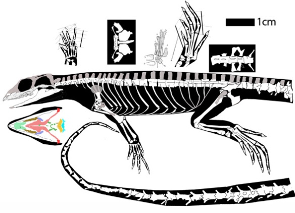 Leptosaurus, a very small rhynchoceplian basal to Sapheosaurus and Noteosuchus on one branch, Trilophosaurus, Azendohsaurus, Mesosuchus and rhynchosaurs on the other. Teeth are not fused to the jaws. Astragalus not fused to the calcaneum. Note the very tiny pectoral girdle. Preserved in ventrolateral view, the nares are not visible, so perhaps they were dorsal as in rhynchosaurs.