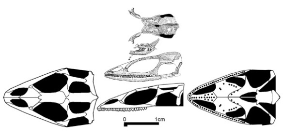 Figure 2. Marmoretta, a basal rhynchocephalian in the lineage of pleurosaurs