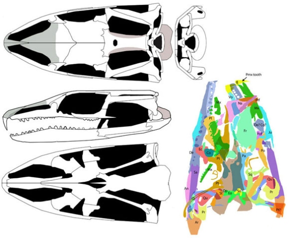 Figure 5. Skull elements of Megachirellla traced in color (Fig. 4) then transferred to line art in three views.