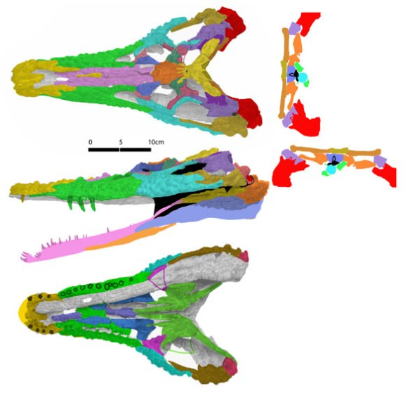 Figure 2. The skull of Proterochampsa (PVSJ 77) colorized here for bone identification.
