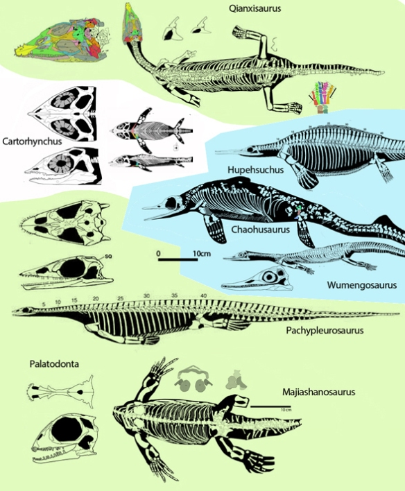 Figure 1. Sauropterygian sisters to Cartorhynchus (green) compared to ichthyosaurian sister candidates. No ichthyosaurs have a short snout and flat belly. Cartorhynchus and sauropterygians swim with their flippers. All ichthyosaurs swim with their tails. Cartorhynchus nests between Pachypleurosaurus and Qianxisaurus in the large reptile tree.