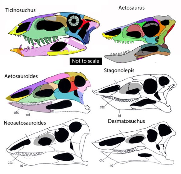 Figure 2. Aetosaur skulls compared to Ticinosuchus, the long-sought outgroup to this clade.