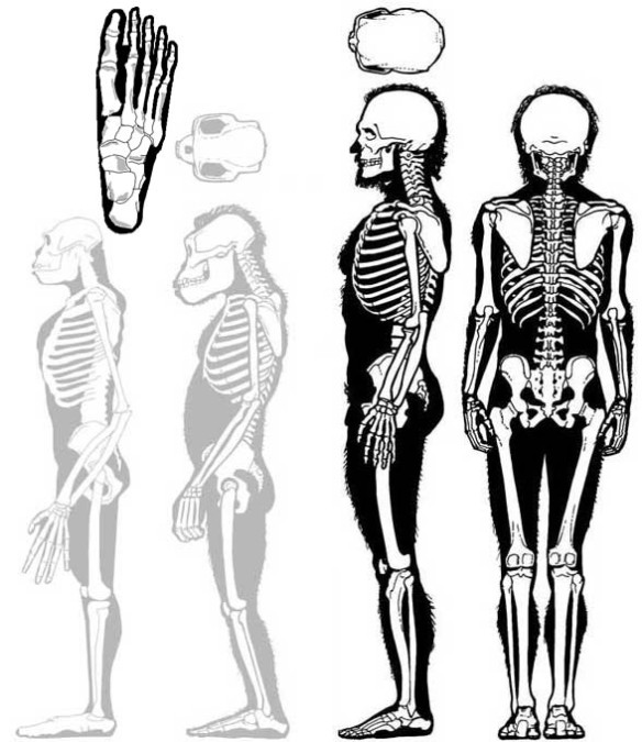 Figure 1. Homo sapiens alongside sister taxa Australopithecus and Ardipithecus (both in gray).