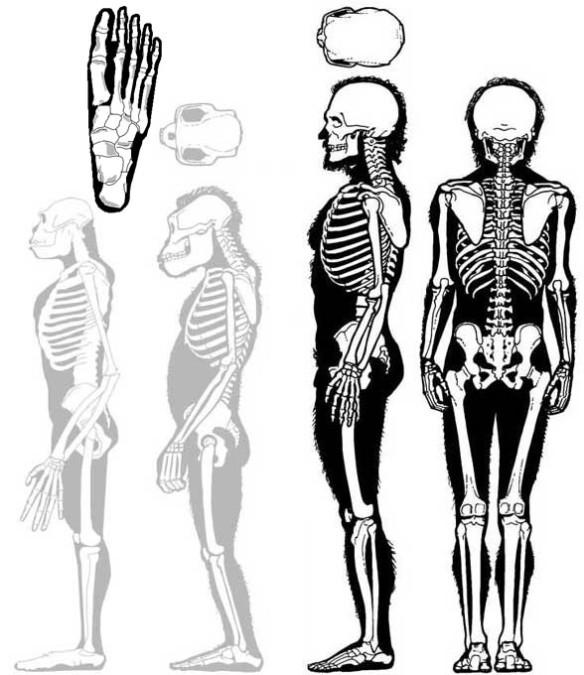 Figure 1. Homo sapiens alongside sister taxa Australopithecus and Ardipithecus (both in gray).