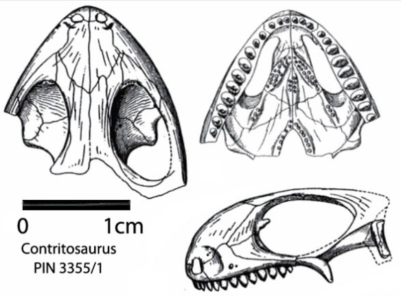 Figure 2. Contritosaurus (aka Phaanthosaurus sinus), a sister to Pintosaurus. Note the narial fossa and palatine teeth.