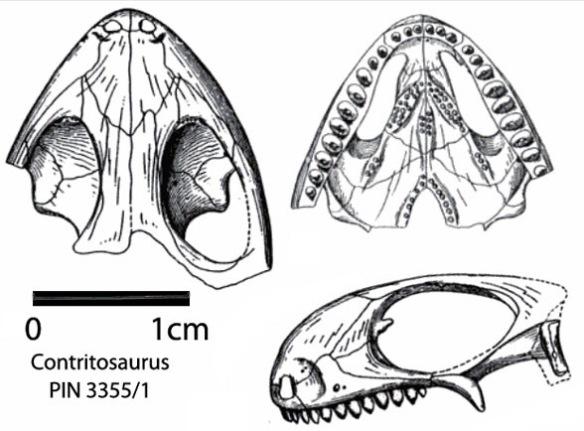 Figure 2. Contritosaurus (aka Phaanthosaurus sinus), a sister to Pintosaurus. Note the narial fossa and palatine teeth.
