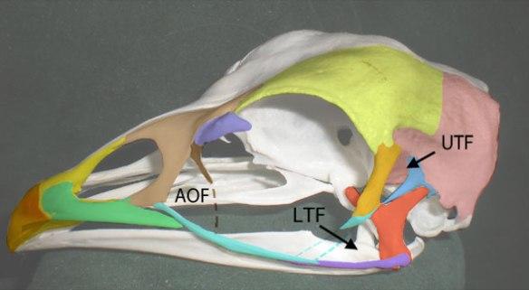 Figure 1. Chicken skull (Gallus gallus) with fused and semi-fused skull bones colorized. Postorbital = orange. Squamosal = lavender. Lacrimal = brown. Prefrontal = purple. Note mid portion of jugal (light blue) is unossified.