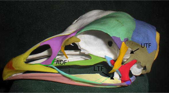 Chicken skull colorized | The Pterosaur Heresies