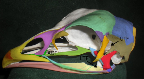 Figure 1. Chicken skull (Gallus gallus) with fused and semi-fused skull bones colorized. Postorbital = orange. Squamosal = tan. Lacrimal = brown. Prefrontal = purple. Quadrate = red.