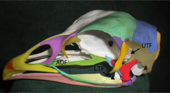 Figure 1. Chicken skull (Gallus gallus) with fused and semi-fused skull bones colorized. Postorbital = orange. Squamosal = tan. Lacrimal = brown. Prefrontal = purple. Quadrate = red.