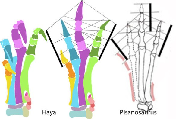 Figure 4. The pedes of Haya and Pisanosaurus compared. The patterns are similar despite the shorter phalanges of Haya.