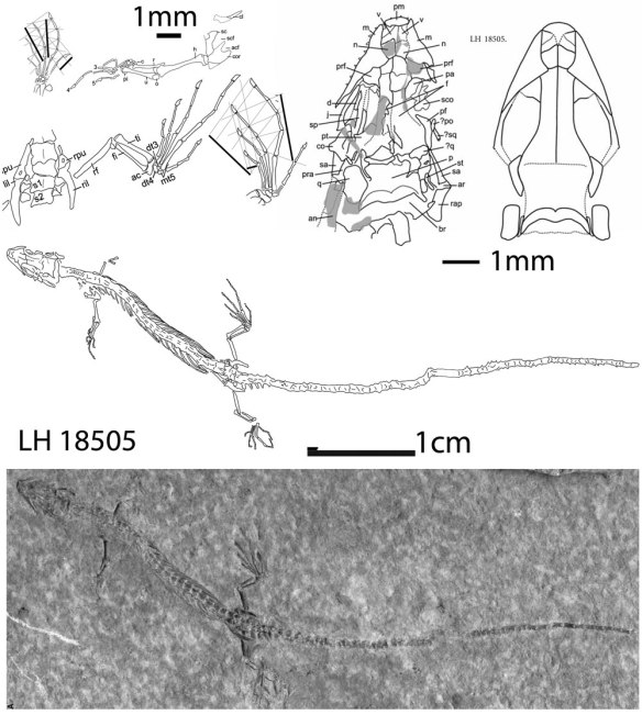 Figure 1. Jucaraseps in situ. This tiny long lizard is in the lineage of terrestrial snakes.