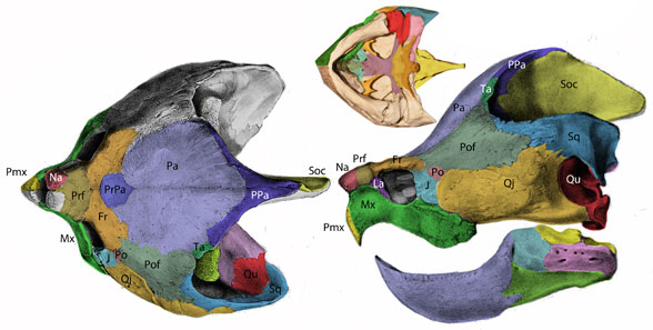 Figure 3. Alligator snapping turtle skull with new bone labels along with color overlays for bone dimensions. These bone labels are closely comparable and homologous with those of horned turtles, like Elginia, and pareiasaurs.