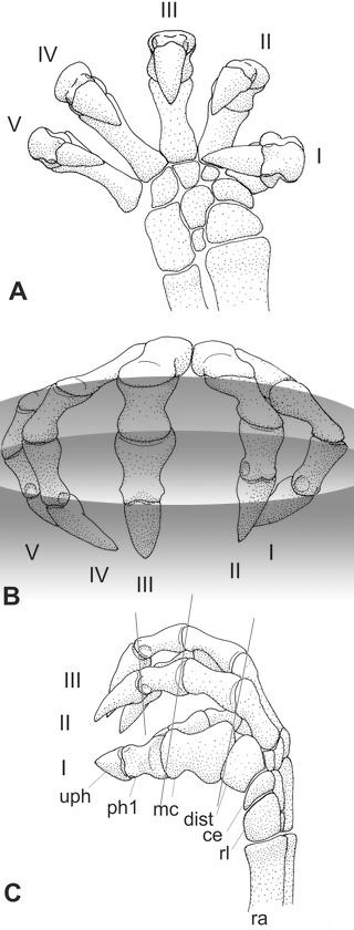 Figure 1. Manus of Galesaurus, an arboreal dromasaur, anomodont, synapsid.