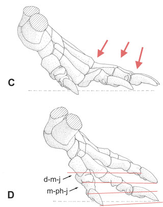 Figure 2. Pes of Titanophoneus-like synapsid from Kümmel and Frey. PILs added. Approximately middle of the propulsion phase (A), followed by plantar flexion of metatarsalia II–V and distale I (B). C shows the start of the raising phase of the metapodialia and D the start of the raising phase of the digits
