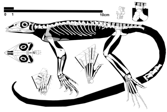Figure 3. Palaegama, close to the origin of all Lepidosauriformes.