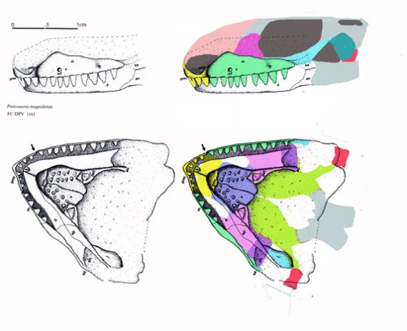 Figure 1. Pintosaurus restored from Piñeiro et al. 2004.