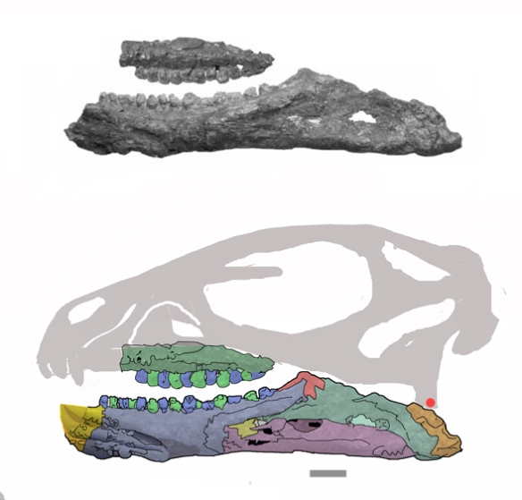 Figure 6. The restored skull of Pisanosaurus. Note the openings of the mandible are not where the former fenestra was placed, so they are artifacts. The predentary of ornithischians is a novel and separate bone, and is probably missing here. Nevertheless, a line of demarcation found on the fossil is shown here.