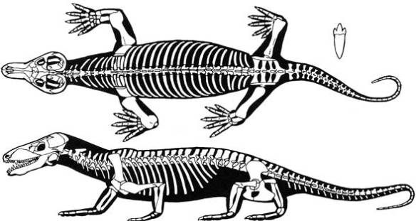 Figure 2. Procynosuchus, a basal cynodont therapsid synapsid sister to humans in the large reptile tree (prior to the addition of advanced cynodonts including mammals).