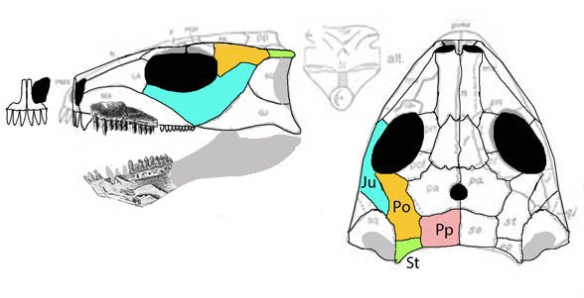 Figure 2. Stephanospondylus skull in two views. Note the rotation of the post parietals to the dorsal skull along with the transformation of the supratemporals into small horns.