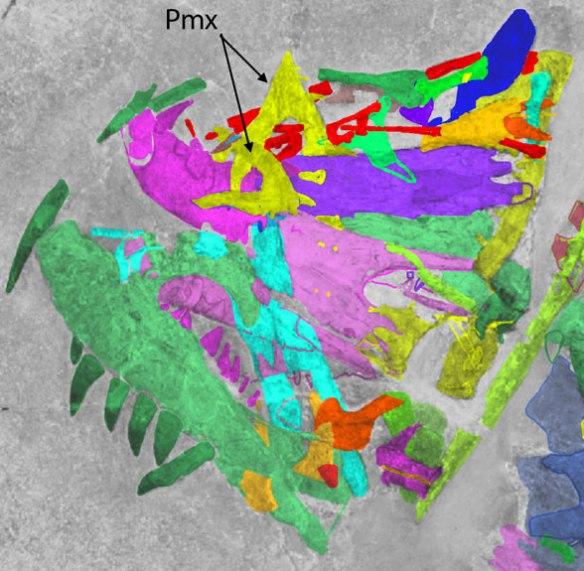 Figure 1. The premaxillae of Ticinosuchus, a stem aetosaur. Note the sharp triangular shape.