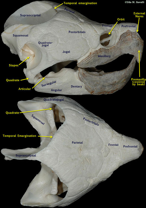 Figure 2. Snapping turtle skull with traditional bone labels. See figure 3 for revised labels.