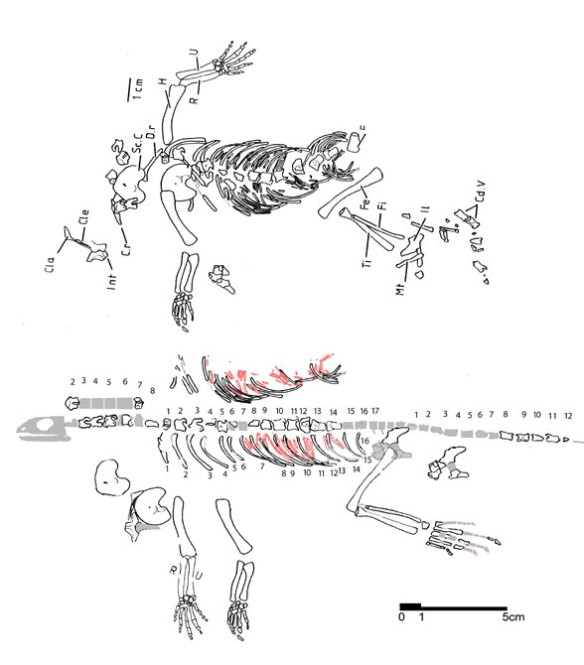 Figure 1. Adelosaurus, a genuine roadkill fossil from the Late Permian together with a reconstruction of same. Note the dorsal expansion of the clavicle, and the robust scapulocoracoid.