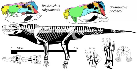 Figure 1. Baurusuchus, the two species is a land croc related to notosuchians.