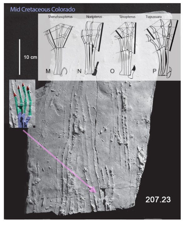 Dakota Group pterosaur swimming tracks preserved as long scratches in the substrate. The best matches for size, time and morphology are the shenzhoupterids through the tapejarids. These are a different sort of pterosaur than the Gansu trackmaker, Jidapterus.