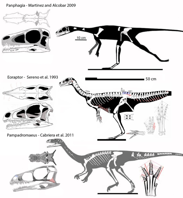 Figure 1. Eoraptor, Pampadromaeus and Panphagia. Three coeval South American dinosaurs between Theropoda and Phytodinosauria. Are they congeneric?