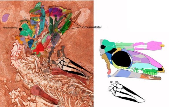 Figure 6. Detail of skull tracings and reconstruction of Erpetonyx skull. The new data nests Erpetonyx closer to Milleropsis.