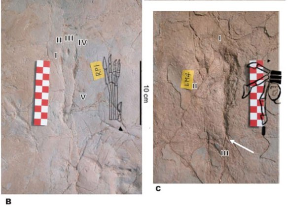 Figure 4. The Yanguozia No. 1 pterosaur track compared to the Jidapterus trackmaker. Note the presence of pedal digit 5 in the track as note by the authors.