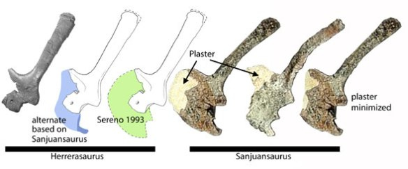 Figure 1. Herrerasaurus and Sanjuansaurus scapulocoracoids. The coracoid was largely restored by Sereno 1993, but maybe its not such a disc (in green). It could be more of a transitional strust/disc (in blue), like Pseudhesperosuchus.