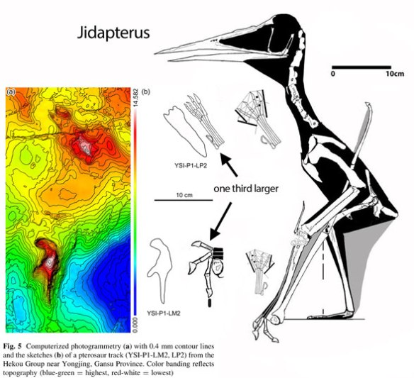 Figure 2. Jidapterus matched to the Gansu, Early Cretaceous pterosaur tracks. The trackmaker was one-third larger than the Jidapterus skeleton.