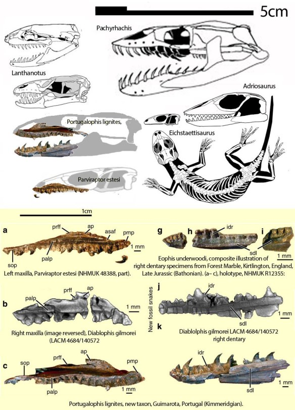 Figure 1. Maxillae from several Mid-to-Late Jurassic snakes discovered by Caldwell et al. 2015, including Parviraptor, Diabolosphis and Portualophis.. These are compared to Lanthanotus, an extant limbed precursor to burrowing snakes, like Cylindrophis. Also shown are Eichstaettisaurus, a limbed varanid precursor to terrestrial snakes along with the skulls of Adriosaurus, an elongate limbed pre-snake and Pachyrhachis, a Late Cretaceous snake with vestigial hind limbs and no forelimbs or pectoral girdle.