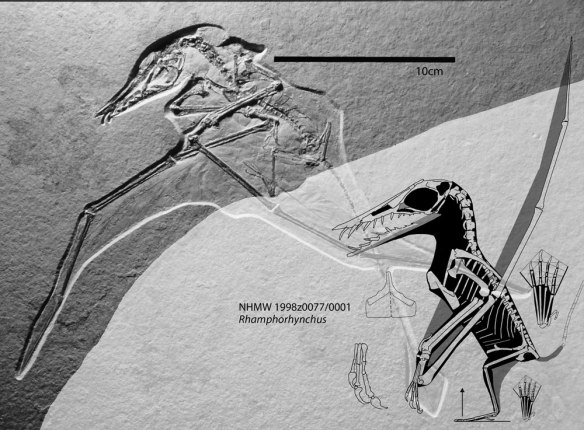 Figure 2. A juvenile Rhamphorhynchus longiceps fossil and reconstruction. The Vienna specimen, NHMW 1998z0077/0001.